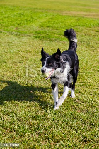 Border Collie Dog With Tennis Ball At Park Stock Photo More