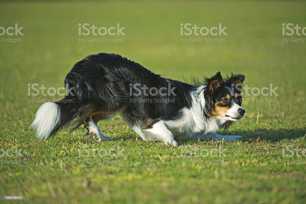 Border Collie Excellence stock photo