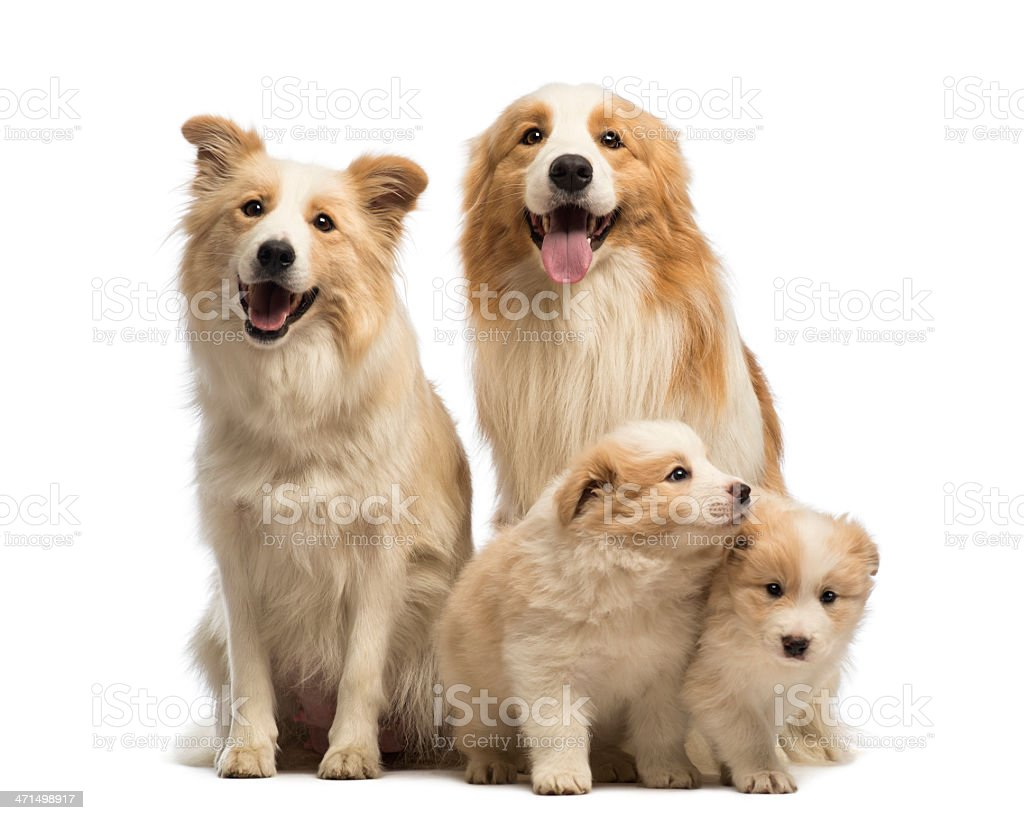 Border collie family, father, mother and puppies, sitting royalty-free stock photo