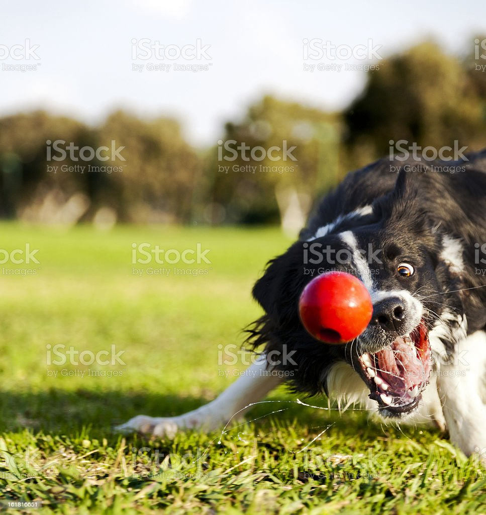 Border Collie Fetching Dog Ball Toy at Park stock photo