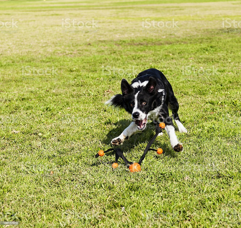 Border Collie Fetching Dog Toy at Park royalty-free stock photo