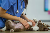istock Border Collie Gets a Rub from Vet 803406418
