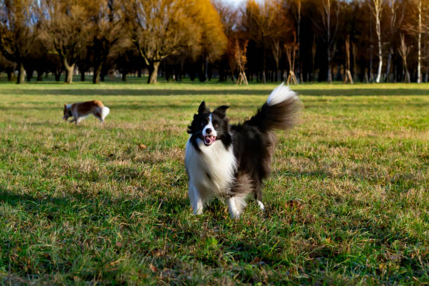 Border collie harmonious relationship with the dog education and picture id1086609724?b=1&k=6&m=1086609724&s=612x612&w=0&h=v1syzelk56vtbi9onk wnlmwhmhnrjlmep3 w2xge 8=