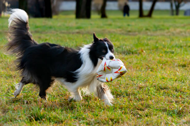 Border collie harmonious relationship with the dog education and picture id1086609748?b=1&k=6&m=1086609748&s=612x612&w=0&h=ff8chhramai5rep0 cdgiofz2lec3igxo6eoi6qujw0=