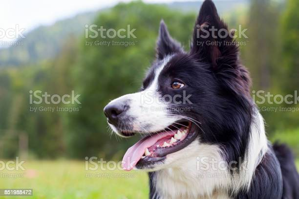 Border collie herding dog breed picture id851988472?b=1&k=6&m=851988472&s=612x612&h=phjkauqmes4clulebum xdqmhvqlzm8vbcm3ugrgx0k=