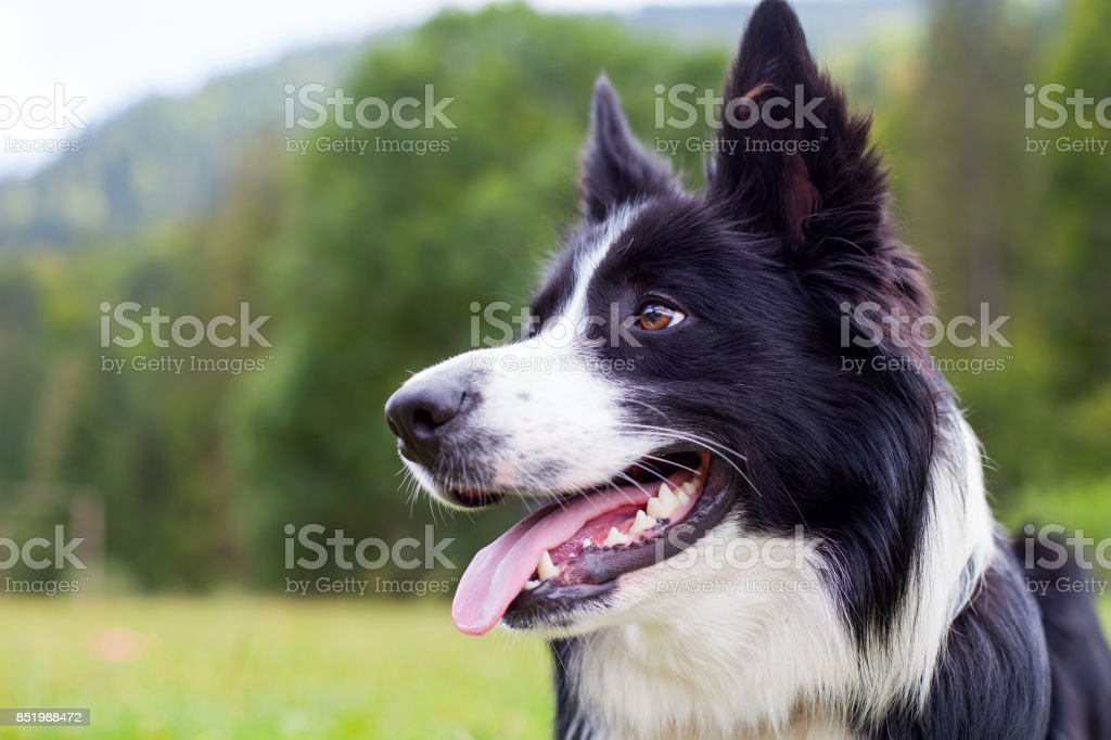 Border collie herding dog breed stock photo