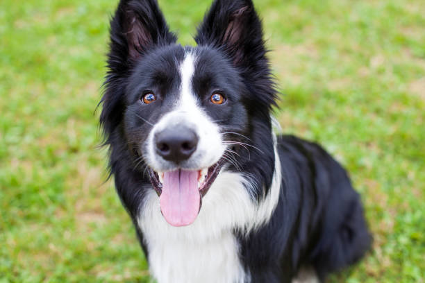 Border collie herding dog breed picture id855137966?b=1&k=6&m=855137966&s=612x612&w=0&h=p4x732jeucpe3o ni5s6 zfxhrwrcrpghbe8l70tq7a=