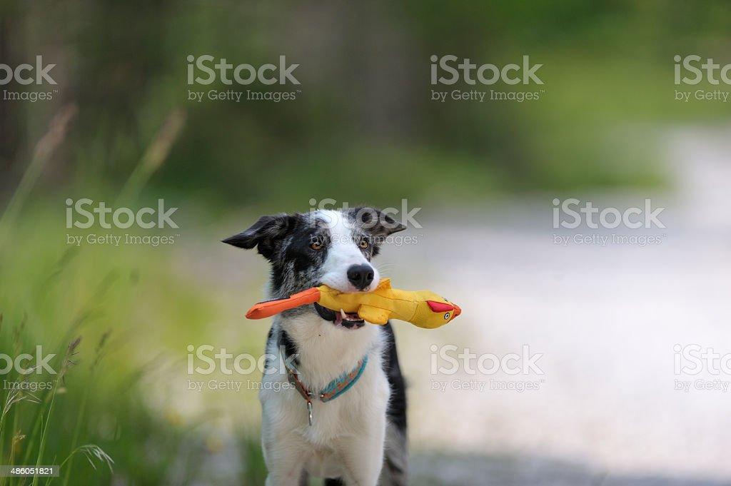 Border collie sostiene amarillo pato de juguete - foto de stock