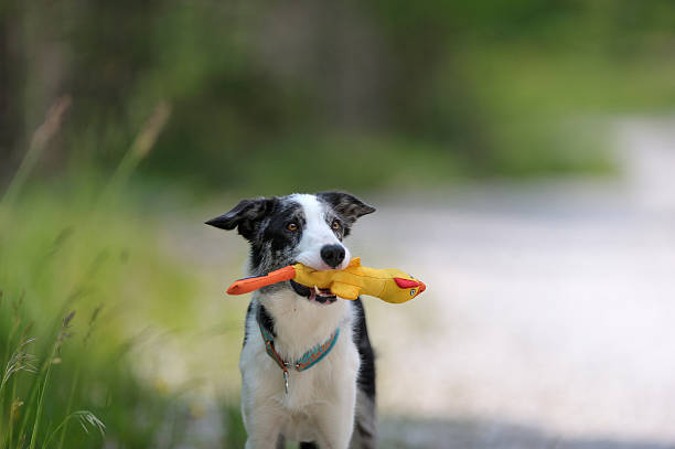 Border collie holding yellow duck toy stock photo