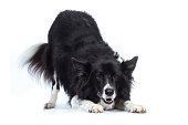 Border Collie Hund Hütehund verbeugt sich seitlich mit Hintern oben und lacht