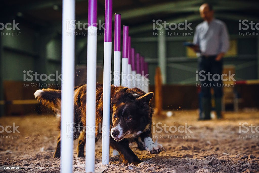 Border Collie in Agility Test – Foto