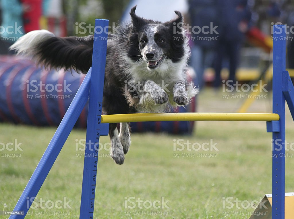 Border Collie in competition. royalty-free stock photo