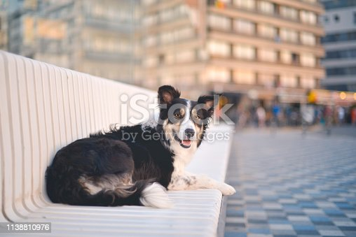 Border Collie lying down on a bench in Knokke.