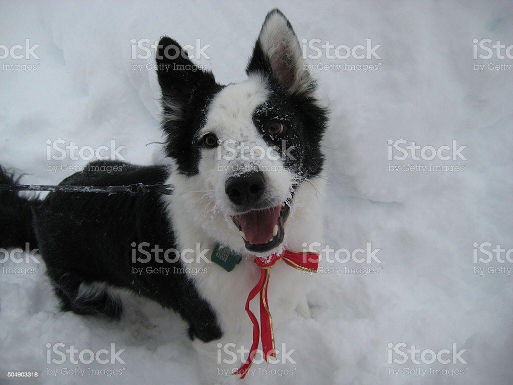 Border Collie in Snow stock photo