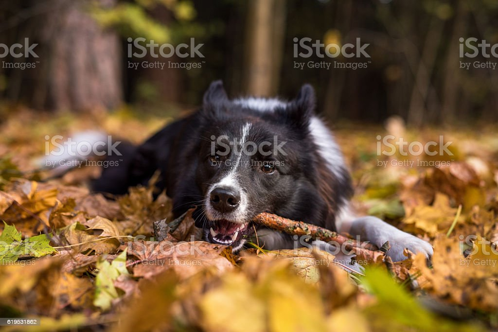 Border Collie is Lying on the Ground and Playing – Foto