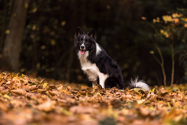 Border Collie is Lying on the Ground and Playing stock photo
