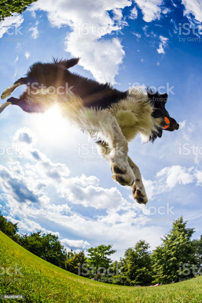 Border-Collie nach dem Ball springen – Foto