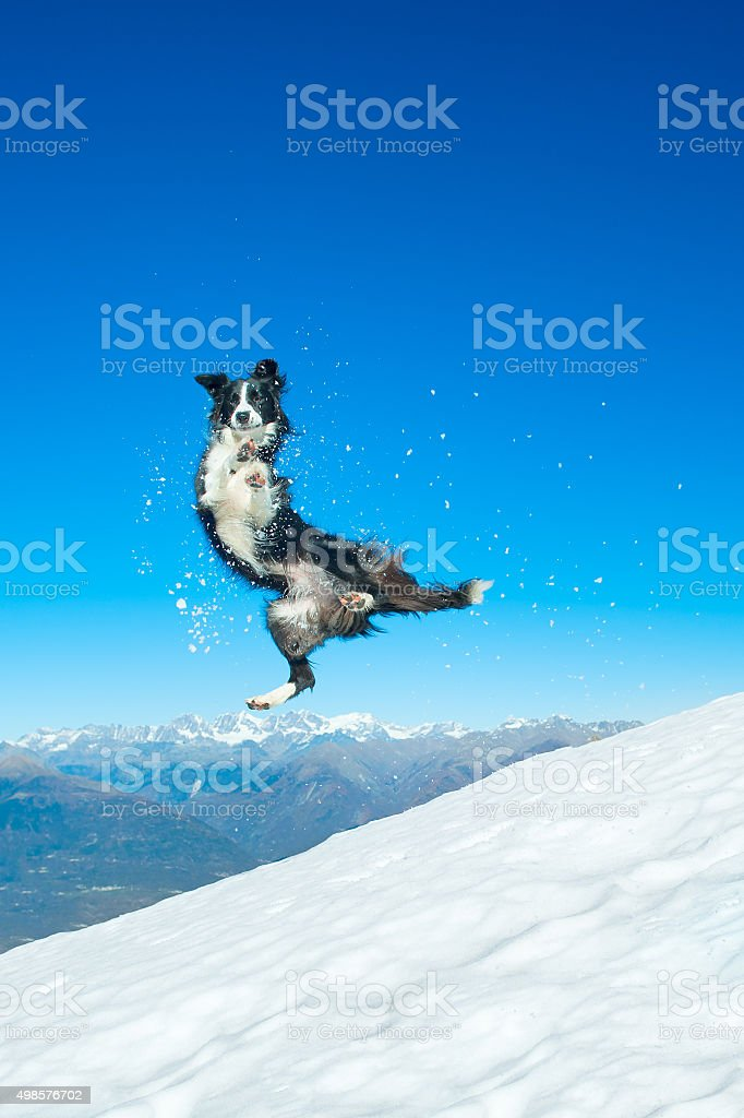 Border Collie jumps in the snow in the mountains stock photo