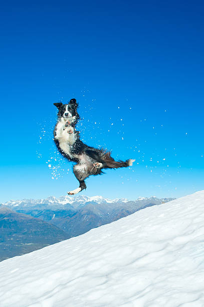 border collie jumps in the snow in the mountains - dog jumping stock photos and pictures