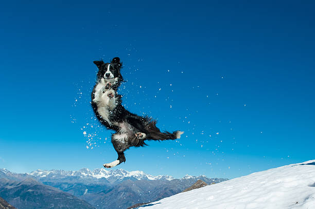 Border collie jumps in the snow picture id498881034?b=1&k=6&m=498881034&s=612x612&w=0&h=1g67q2yfn5coknftll48ltis lqdtrfizuuyshionto=