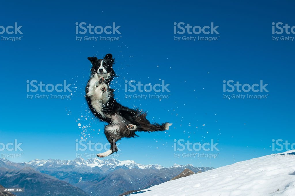 Border Collie jumps in the snow stock photo
