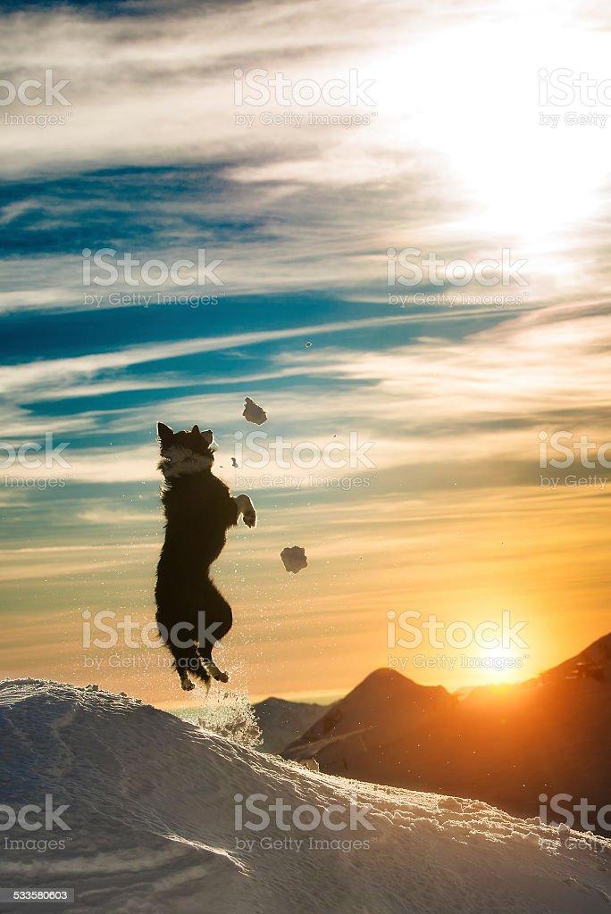 Border-collie Sprünge im Schnee – Foto