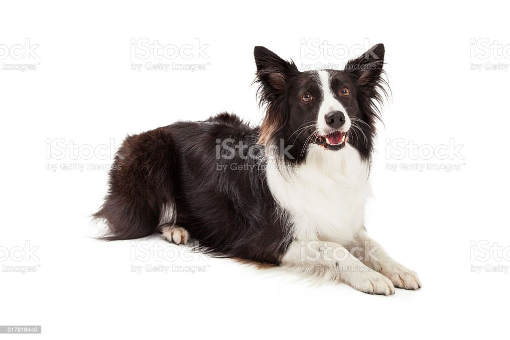 Border Collie Laying Looking Forward stock photo