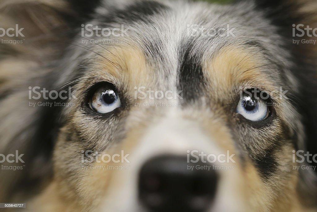 Border collie look stock photo