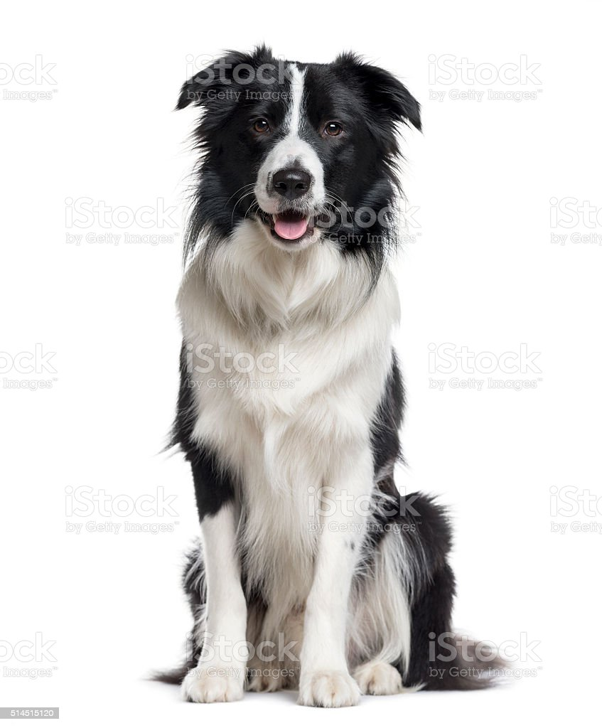 Border Collie looking the camera isolated on white stock photo