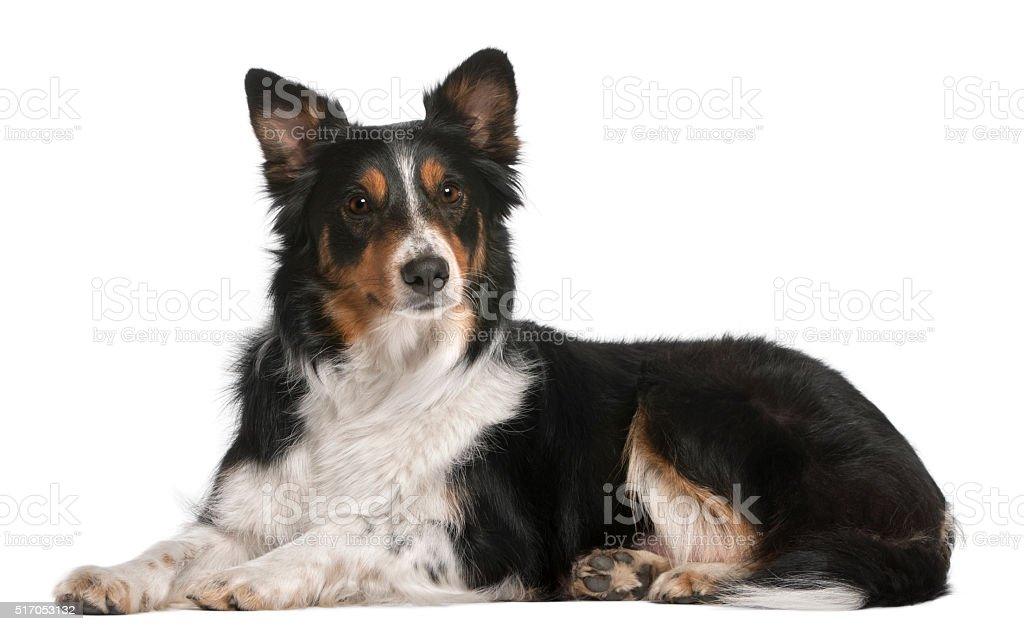 Border Collie lying in front of white background stock photo