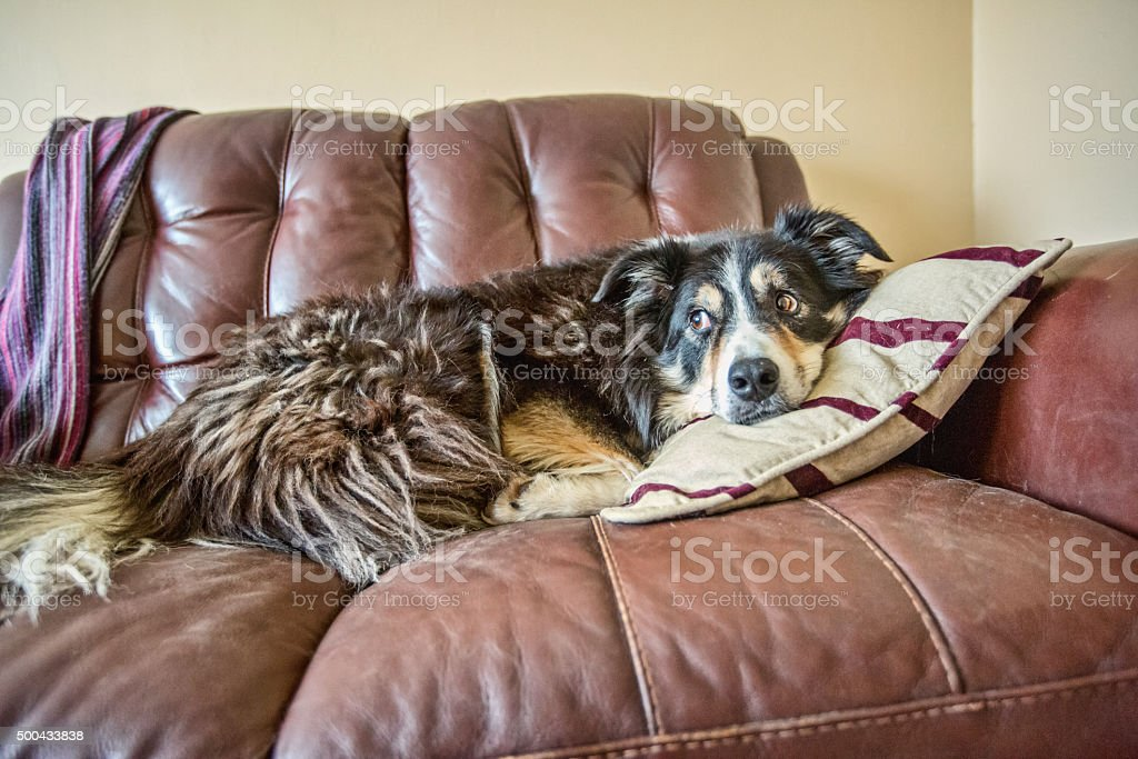 Border collie lying on pillow stock photo