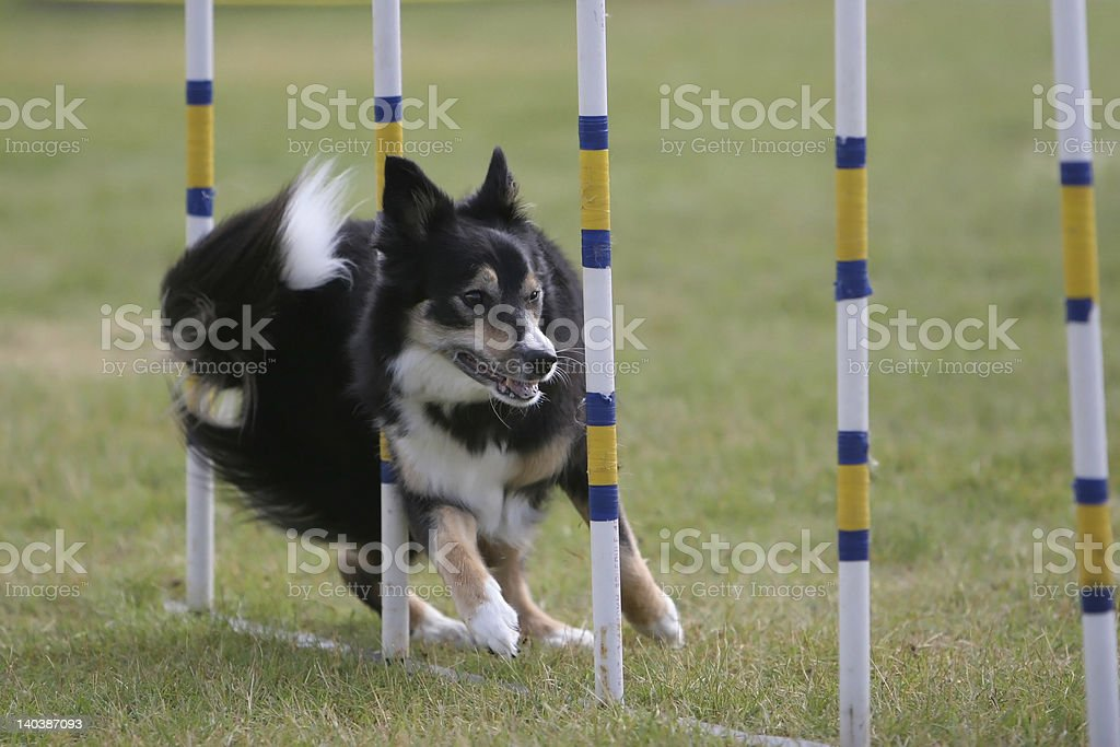 Border Collie manoeuvering dog agility weave poles. stock photo