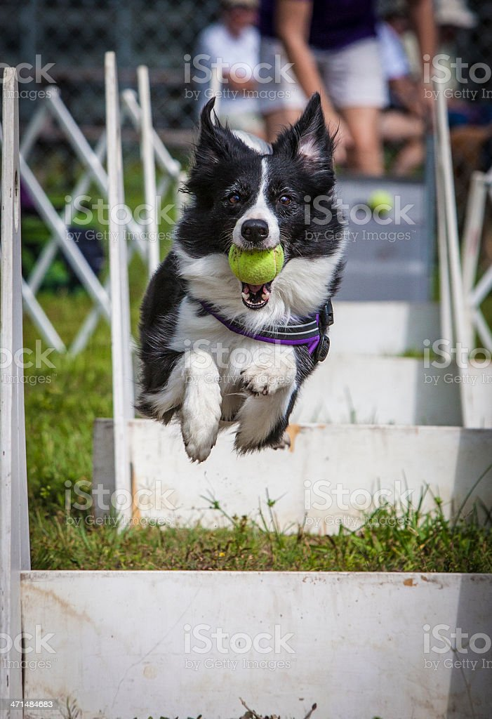 Border Collie Mid-Air Jumping Through Obsticles royalty-free stock photo