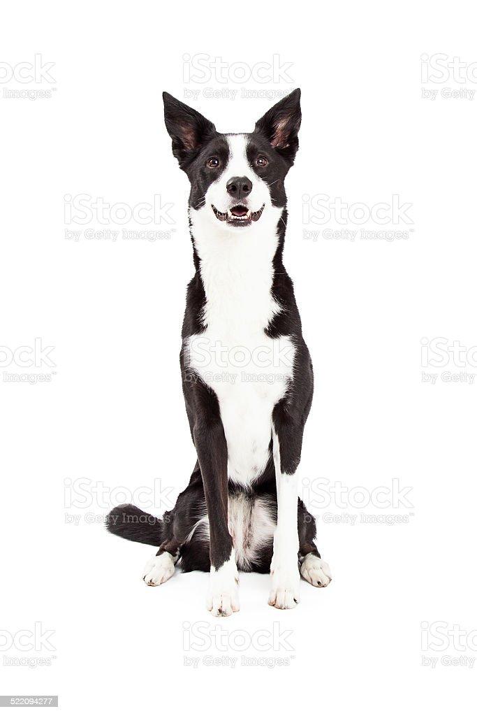 Border Collie mezclar raza de perro de estar - foto de stock