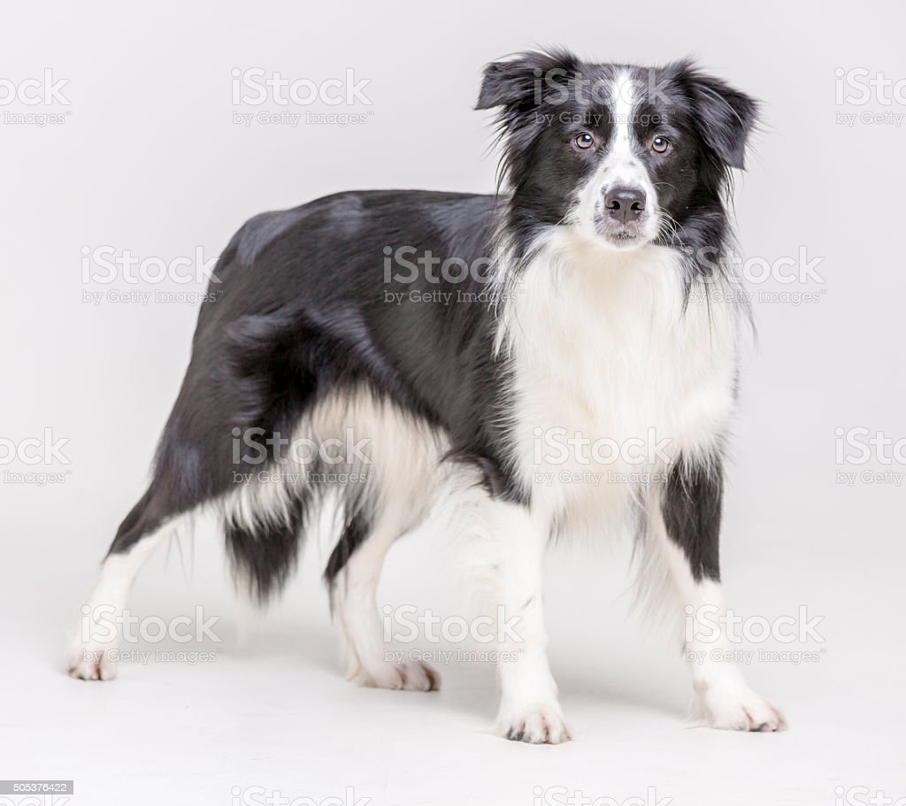 Border Collie Nice stock photo