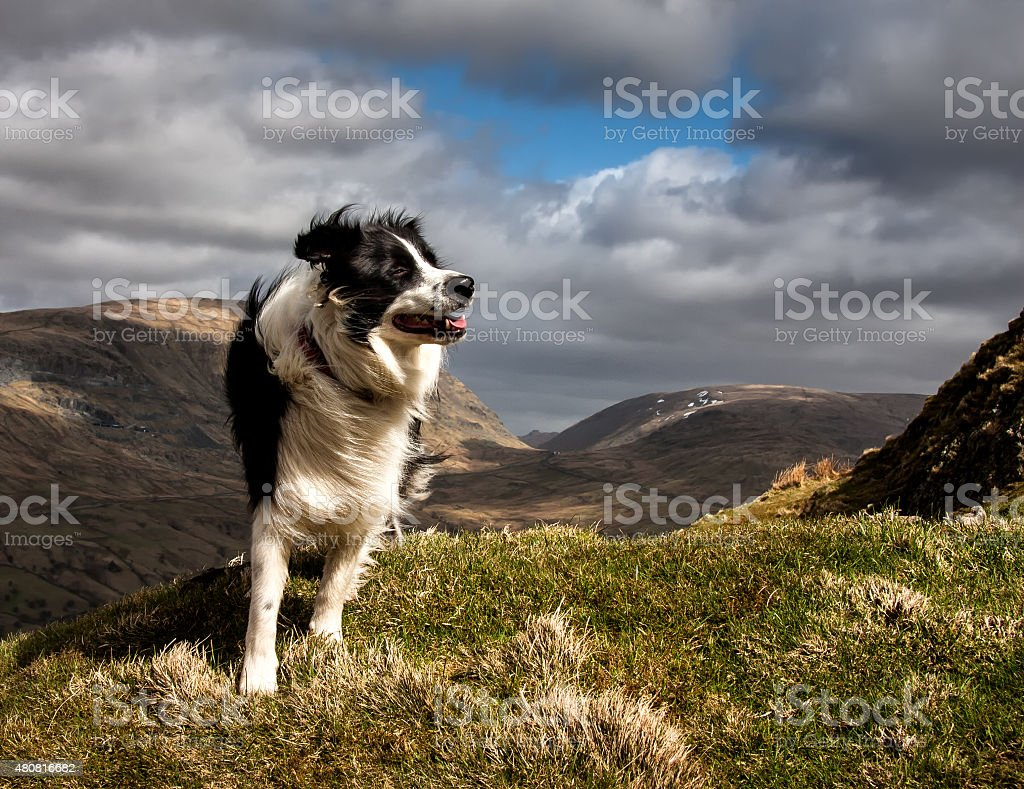Border Collie a las montañas - foto de stock