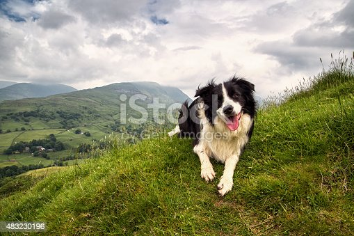A Border Collie on a mountain in the UK Lake District, near Ambelside