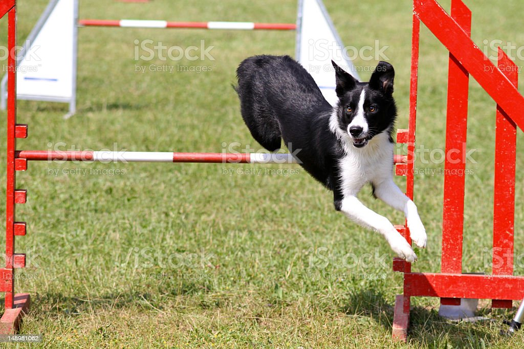 Border Collie sur Agilité - Photo