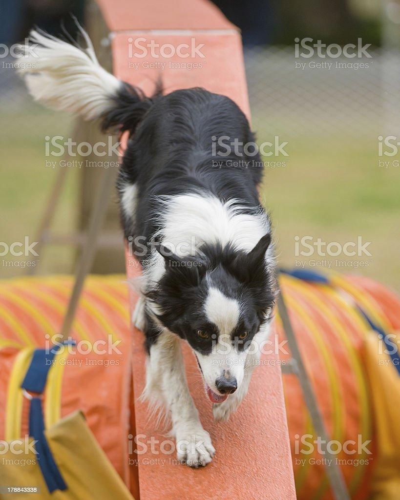 Border Collie on agility Walkway royalty-free stock photo