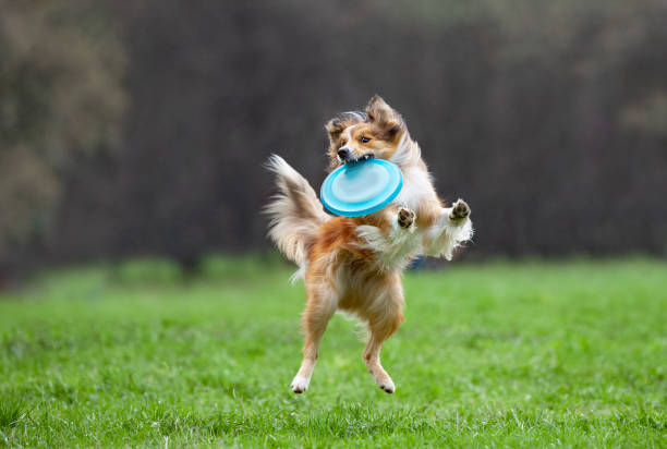 border collie on dog frisbee border collie on dog frisbee plastic disc stock pictures, royalty-free photos & images