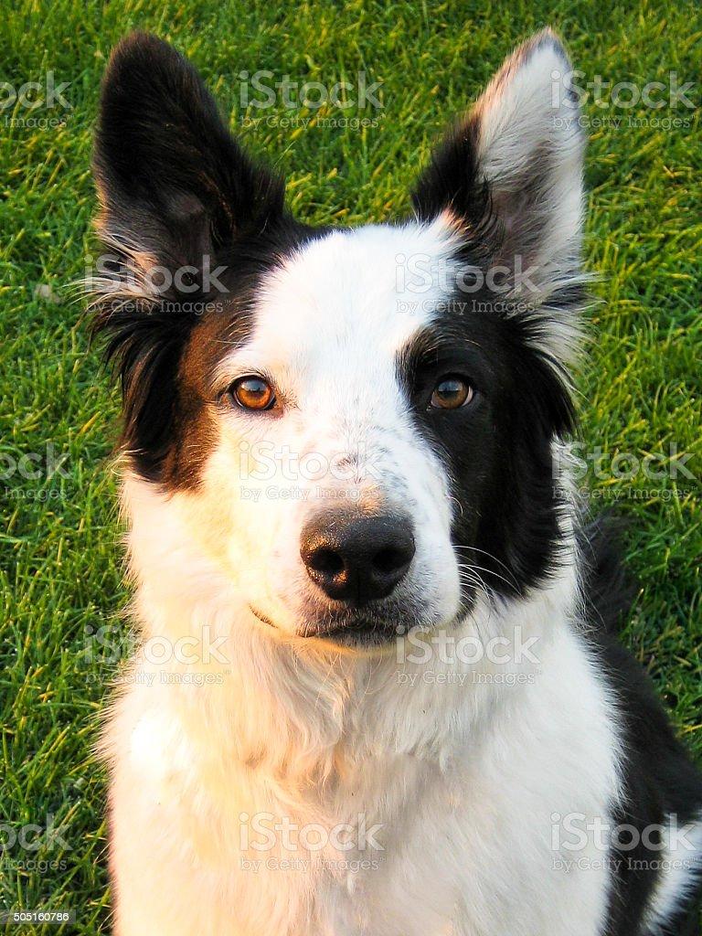 Border Collie on grass stock photo