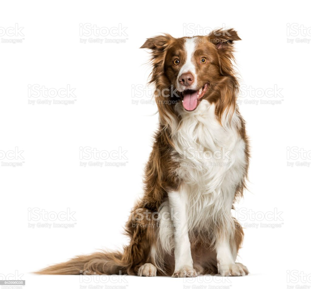 Border Collie panting against white background stock photo