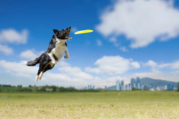 Border Collie On the green grass, Border Collie is enjoying the play to bite the disc. catching stock pictures, royalty-free photos & images