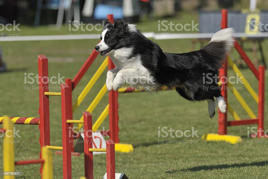 Border-Collie – Foto