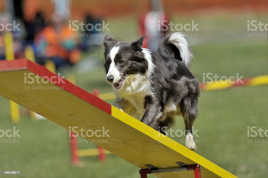 Border Collie - Photo
