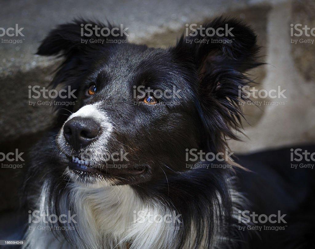 border collie royalty-free stock photo