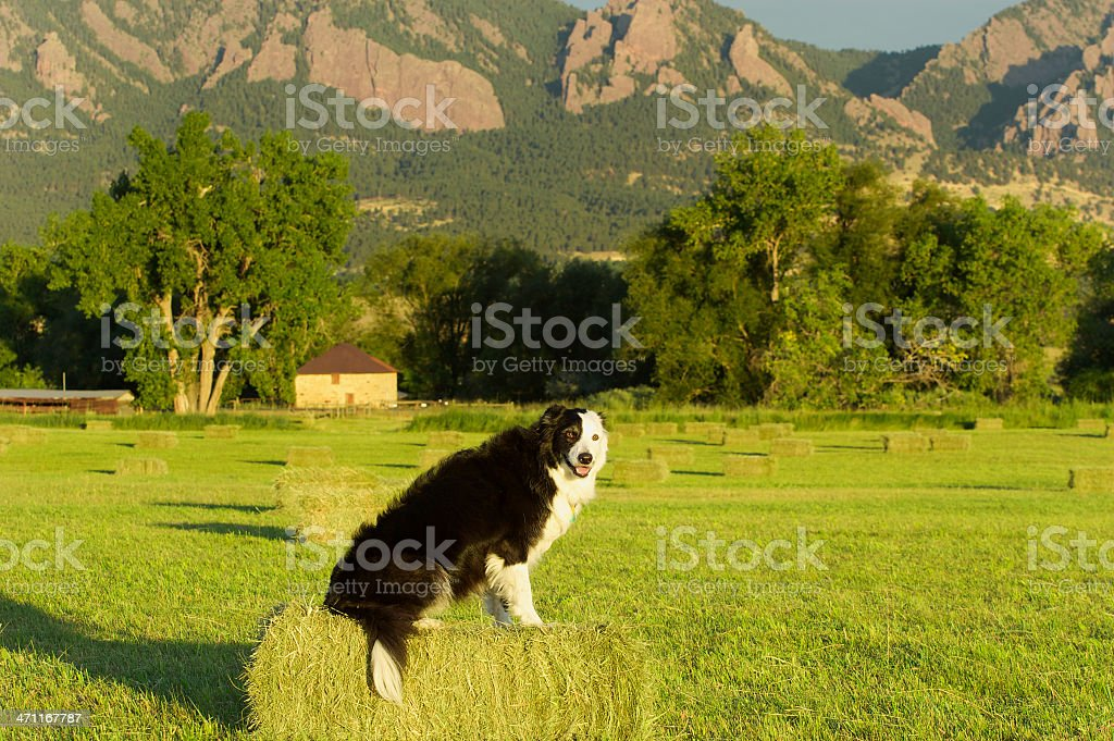 Border Collie royalty-free stock photo