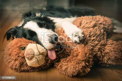 A young border collie cuddles her favourite teddy bear