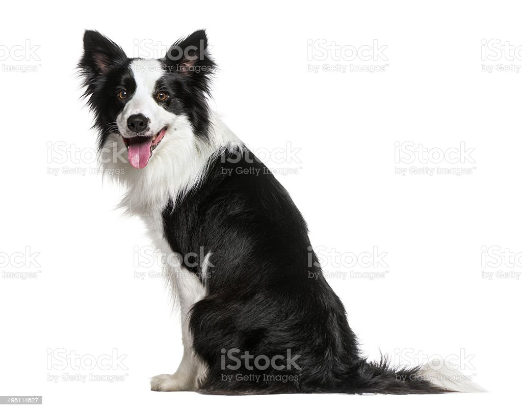 Border Collie (18 meses de antigüedad) - foto de stock
