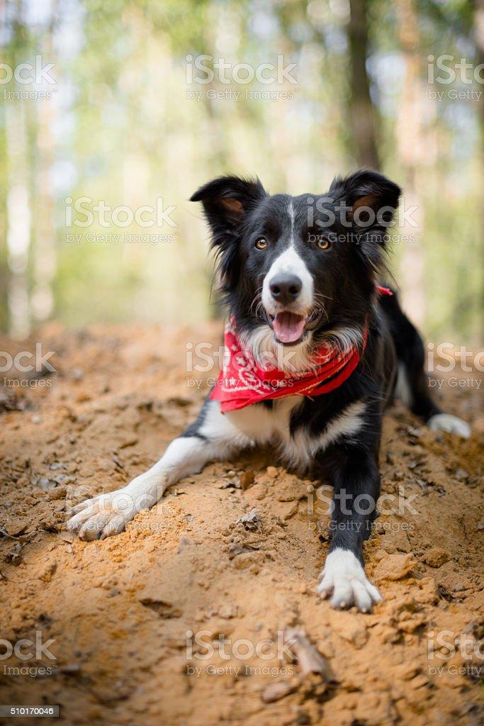 Border collie stock photo